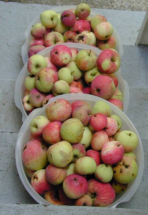 Apples in bowls waiting for processing
